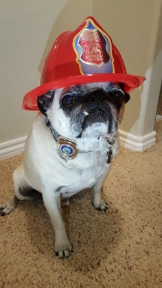 Jaxson, an 11-year-old pug in Meridian, Idaho, is being hailed as a hero after alerting his family to an electrical fire. | This Pug Is Being Hailed As A Hero After Saving His Family From A Fire - BuzzFeed News