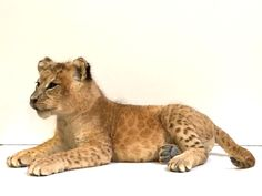 Opgezette leeuwenwelp Taxidermy, Panther, Animals, Animales, Animaux, Panthers, Animal, Animais, Black Panther
