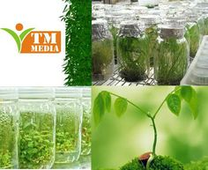 Plant tissue culture media - is an effective way of cultivating new and rare breeds of plants in an artificial created environment.