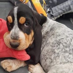 Basset Puppies, Bloodhound Dogs, Hound Puppies, Basset Hound Puppy, Purebred Dogs, Baby Puppies, Baby Dogs, Pet Dogs, Dog Cat