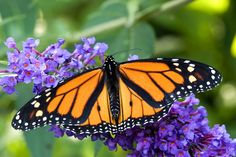Image result for butterfly on flower Butterfly On Flower, Butterfly Life Cycle, Monarch Butterfly, Butterfly Wings, Monarch Caterpillar, Answer To Life, Theme Background, Beneficial Insects, Blooming Plants