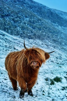 Highland cattle on the Faroe Islands Scottish Highland Cow, Highland Cattle, Cow Pictures, Animal Pictures, Pretty Pictures, Long Haired Cows, Farm Animals, Cute Animals, American Beef