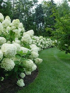 Hedge of white hydrangeas