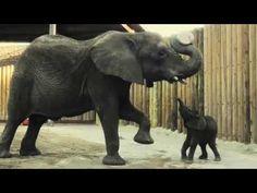 Ahhhhhhh, most adorable baby elephant ever!!