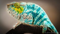 ~ Nosy Faly Panther Chameleon