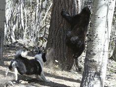 Karelian Bear Dog running a bear up a tree.