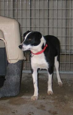 My name is Bobbi because I have short bob tail. I am a rescue from a litter of 7 with my momma Daisy Duke. She has heartworms really bad and is being treated. She's black and white, just like me. I am getting spayed soon and am current on all my...