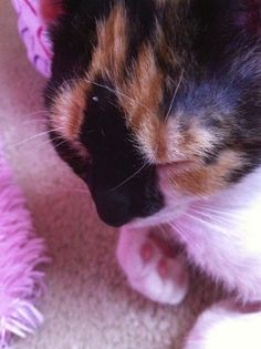 Cupcake the Calico sleeping