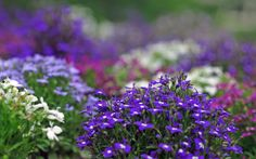 Violet Flowers Wallpapers HD Pictures One HD Wallpaper Pictures