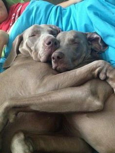 this is why i love weimaraners. they are full of love and they love like humans. they think they are human. this is so typical... <3