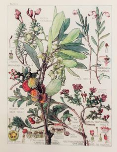 Heather Family Botanical Print, 1910, by Harriet Isabel Adams (1863-1952)