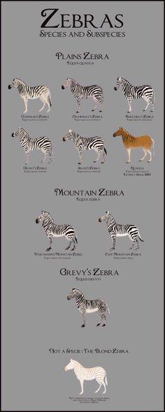 Zebra Species & Subspecies