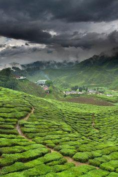 L'mage du jour : Champ de thé vert au Cameron