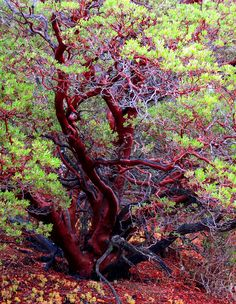 Manzanita trees native to western North America are known for their red bark &their unique & twisted shapes. Mother Earth, Mother Nature, Weird Trees, Manzanita Tree, California Native Plants, Unique Trees, Old Trees, Tree Photography, Nature Tree