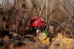 Мухомор красный (Amanita muscaria) фото грибов, лесной гриб мухомор Клубника, Фрукты, Еда