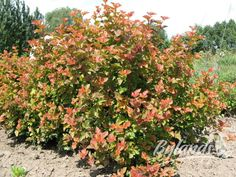 Amber Jubilee Ninebark A unique blend of foliage colors. New growth takes on shades of yellow and orange in the Summer, matures to lime-green and then turns Purple in the Fall. Mailbox Garden, Full Sun Plants, Cherries Jubilee, Rose Images, Trees And Shrubs, Evergreen Shrubs, Shades Of Yellow, Types Of Plants, Garden Planning