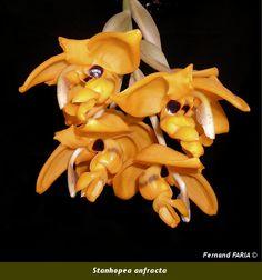 Stanhopea anfracta