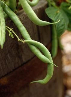 Growing Green Beans in a Container