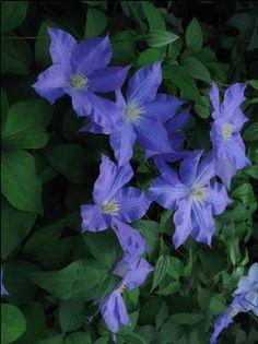 Nice Clematis Agnessa PlantsGarden