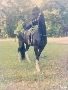 King is one of my Tennessee walking horses he is one of the best trail horses i have ever owned!