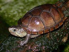 Tortugueros que nacen: Cuidados de tortugas del genero Kinosternon