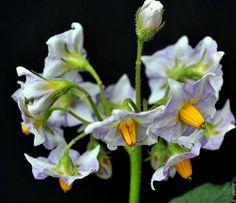 Con carácter retroactivo.   La flor de la patata. Muchas gra…   Flickr