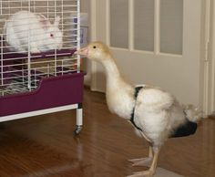 Maddie really wanted this for Sonny. She was such a sweet pekin duck and so loyal.