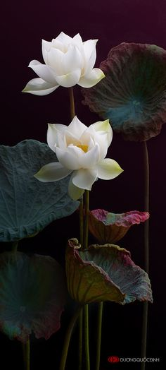 "White Lotus ~ Miks' Pics ""Flowers lll"" board @ http://www.pinterest.com/msmgish/flowers-lll/"