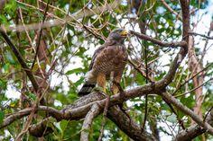 https://flic.kr/p/DdxgKD | Gavião-carijó/Roadside Hawk (Rupornis magnirostris)