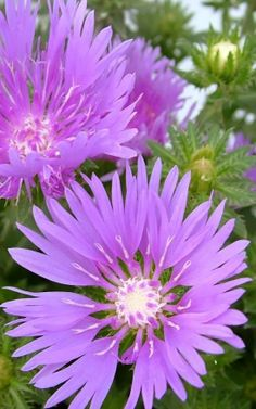 Stokesia Mels Blue Beautiful