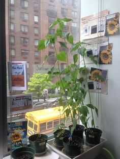 Miss Carolyn's Class School Year 2012-2013: Sunflower Garden in May