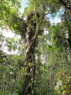Rainforest near Cairns, Australia. I have been here, too! Beautiful area! Cairns used to be all rainforest. That's why there's no beach just a man made wading pool. Great hostel to stay at here and take a day boat trip out to the reef. Memorable!