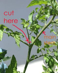 This is the Fastest Way to Grow Tomatoes at Home   - CountryLiving.com