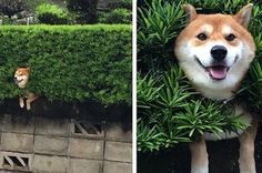 Why does this keep happening to you, shibas? 11 Shibas Who Got Stuck in Things but Didn't Care at All