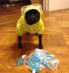 Breaking Bad pug
