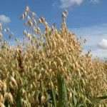 UK growers will face problems marketing oats after what is likely to be the biggest crop in 40 years. About 1 million tonnes of oats are predicted for this year's harvest after farmers in the UK planted about 164,000ha of the crop, according to grain co-op Openfield.  - See more at: http://globalmilling.com/uk-set-for-biggest-oat-crop-in-40-years/#sthash.5vViSWOX.dpuf