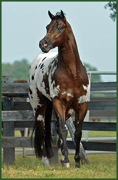 The Englishman - Appaloosa Stallion