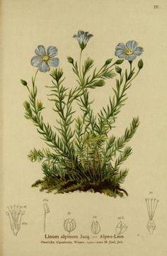 1 - 1882 - Atlas der Alpenflora / herausgegeben vom Deutschen und Oesterreichischen Alpenverein ; by  Anton Hartinger