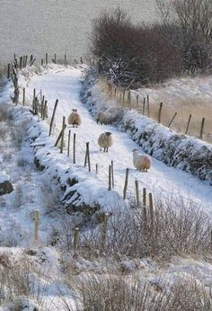 Sheep go softly in the snow.