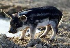 Mangalitsa (US spelling), Mangalitza (UK spelling) or Mangalica (original Hungarian spelling) is a name for three breeds of pig grown especially in Hungary and the Balkans known also as a curly-hair hog.