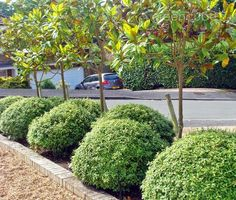 Pittosporum tenuifoliu Golf Ball. A looser option to be mixed with the box balls.
