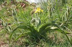 Hypoxis hemerocallidea plant