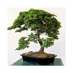 Juniper Bonsai Cascade - Bonsai Trees - By Plant Type - GivingPlants.com