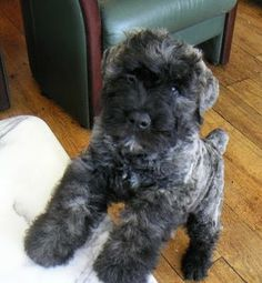 Best Bouvier Des Flandres Dog Names - Gwen Howarth Dogs Baby Puppies, Cute Puppies, Cute Dogs, Dogs And Puppies, Doggies, Puppy Images, Puppy Pictures, Puppy Care, Pet Puppy