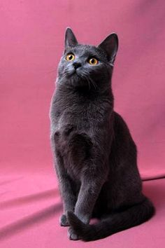 The Chartreux is a rare breed of domestic cat from France and is recognised by a number of registries around the world. It is not recognised by the GCCF in the UK, ostensibly for being too similar to the British Shorthair, one of whose colours is a similar blue-grey