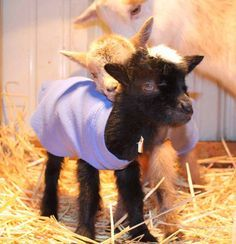 The Thrifty Homesteader: Kidding in winter, kid, how to, adorable, baby goats, does, bucks, herds, birthing process, what to do, when, if, pregnancy, pregnant, dangers of cold, weather