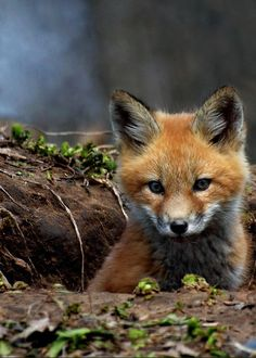 Kit Fox by Thomas Young Baby Animals, Animals And Pets, Cute Animals, Young Fox, Young Animal, Baby Foxes, Baby Red Fox, Forest Animals, Woodland Animals