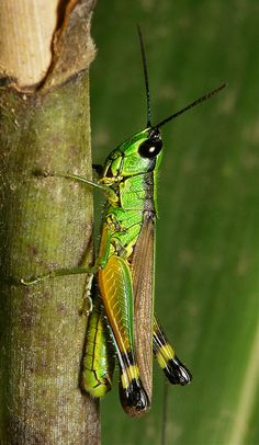 ˚Grasshopper (Oxya sp., Oxyinae, Acrididae) China