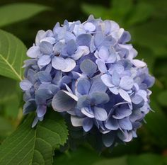 Hydrangea – Identification and Pruning | Walter Reeves: The Georgia Gardener