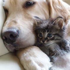 Golden retriever and abandoned kitten  --sooo cute